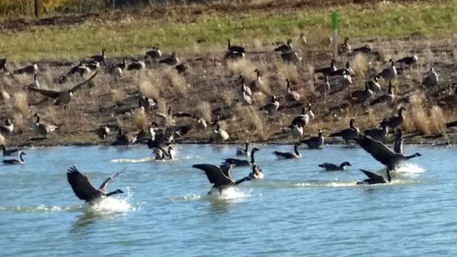 geese landing zoom in